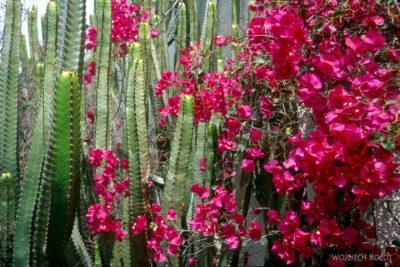 015 - Kaktus ikwiatuchy