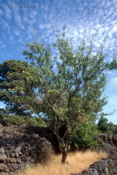 100 - Drzewo migdałowe