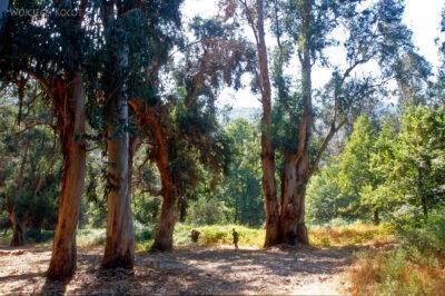 053 - Porto - eukaliptusy