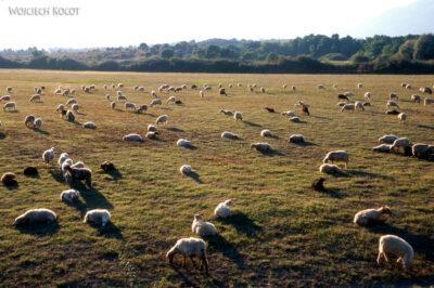 240 - Owce wsłońcu
