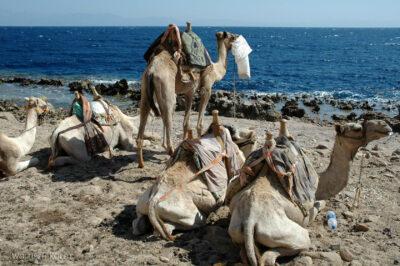 6066 - Abu Galum - Camele