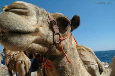 6072 - Abu Galum - Twarz camela