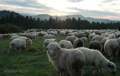 176-Owce