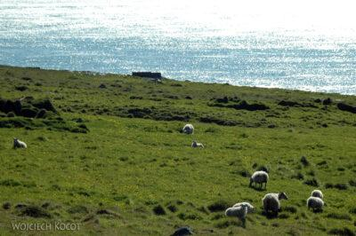 24086 - Owce