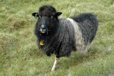 03041 - Owca
