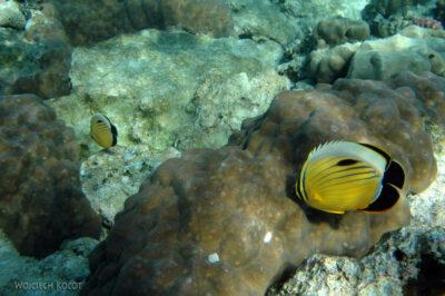 12179 - Butterflyfish Polyp