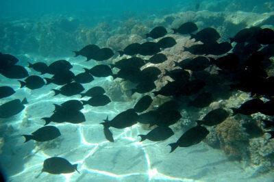 31316 - Black Surgeonfish