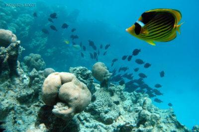 31324 - Black Surgeonfish