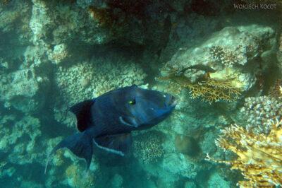 41407 - Triggerfish Blue