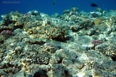 47506 - Cornetfish