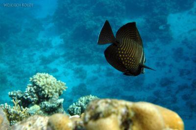 58606 - Sailfin Surgeonfish