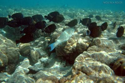 58612 - Sailfin Surgeonfish