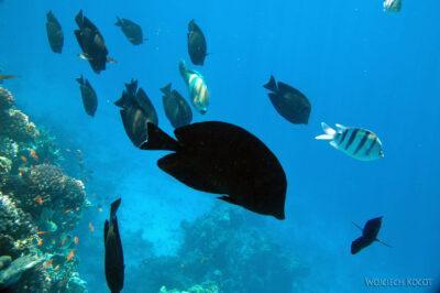 58620 - Sailfin Surgeonfish