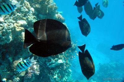 58622 - Sailfin Surgeonfish