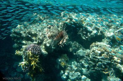 60625 - Lionfish