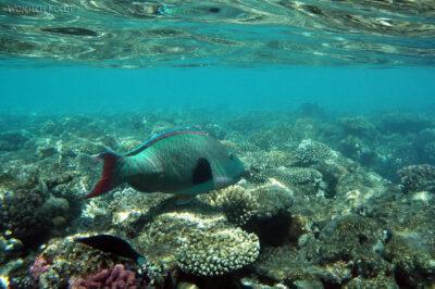 75768 - Parrotfish Bicolour