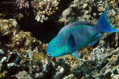 76777 - Parotfish