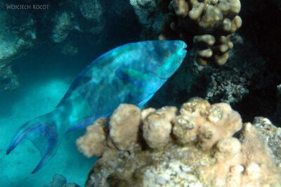 76790 - Parotfish