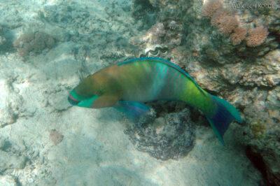 76796 - Parotfish