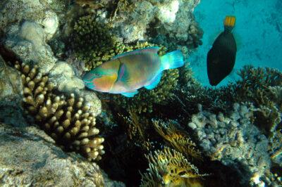 76802 - Parotfish