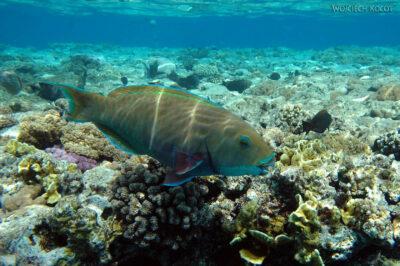 76803 - Parotfish