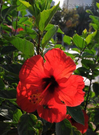 02087 - Kos - kwiatuch