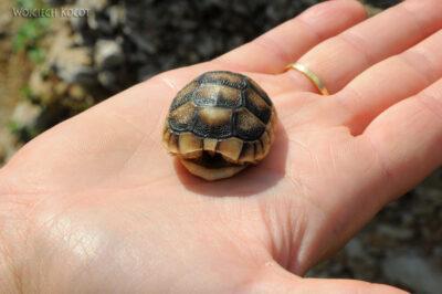 15030 - Ath - żółwik