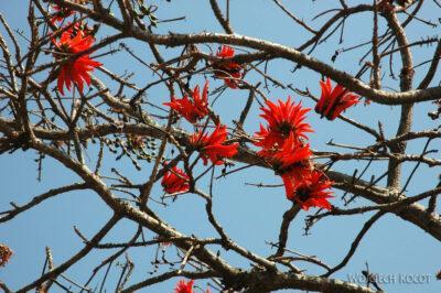 SA06061-Drzewo koralowe