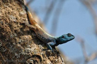 SA06075-Niebieska jaszczurka