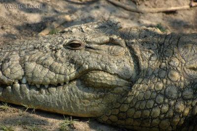 SA08047-Krokodyl