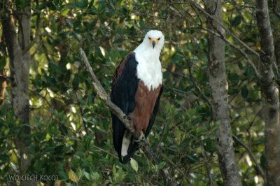 SA08064-Fish Eagle