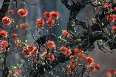 SA10050-Red Winged Starling - Błyszczak Czerwonoskrzydły