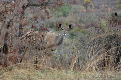 SA05009-Kudu