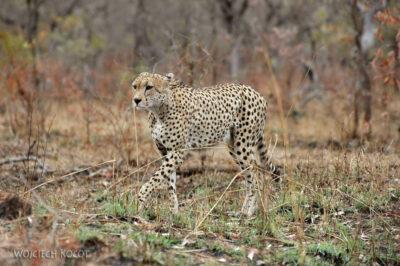 SA05026-Gepard