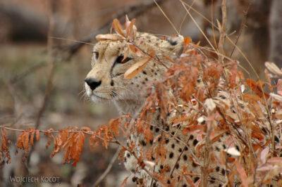 SA05037-Gepard