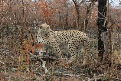 SA05039-Gepard