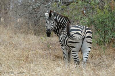 SA05093-Zebra