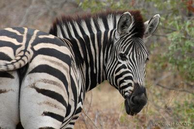 SA05096-Zebra