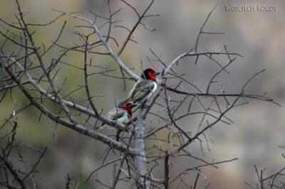 SA05121-Black Collared Barbet - Wąsal Obrożny