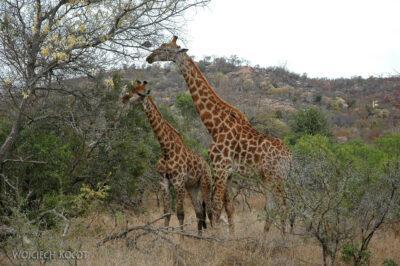 SA05152-Żyrafa