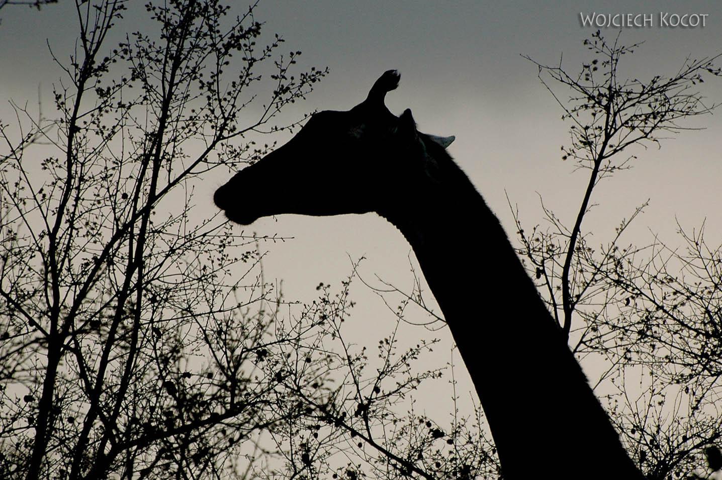 SA05162-Żyrafa