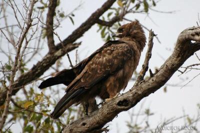 SA05184-Brown Snake Eagle - Gadożer Brunatny