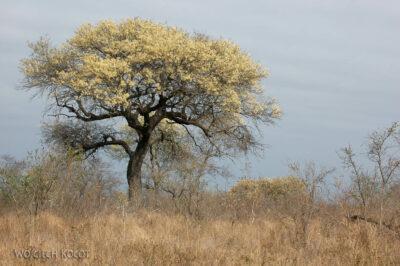 SA05199-Drzewo kwitnące nażółto