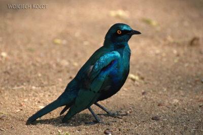 SA05342-Cape Glossy Starling - Błyszczak Lśniący
