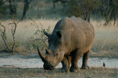 SA05437-Nosorożce