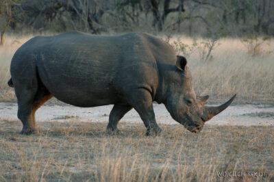 SA05438-Nosorożce