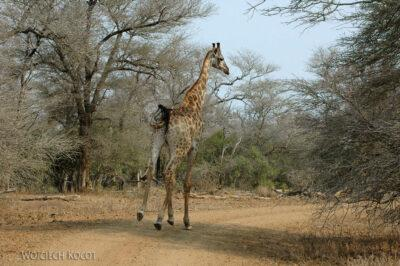 SA05509-Żyrafa