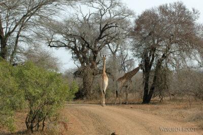SA05511-Żyrafa