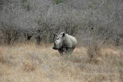 SA05647-Nosorożce