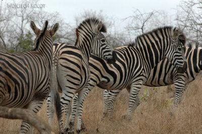 SA05669-Zebra